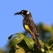 New Holland Honeyeater (Image ID 27062)