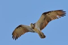 Osprey (Image ID 27078)