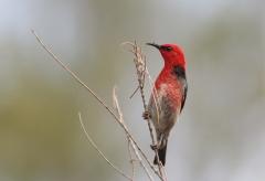 Scarlet Honeyeater (Image ID 27008)