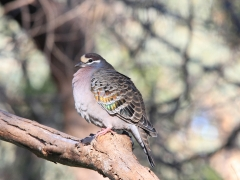 Common Bronzewing (Image ID 27082)