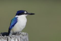Forest Kingfisher (Image ID 26976)