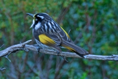 New Holland Honeyeater (Image ID 27089)