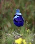 Splendid Fairy-wren (Image ID 27091)