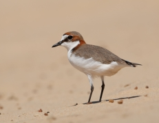 Red-capped Plover (Image ID 27055)