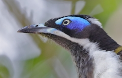 Blue-faced Honeyeater (Image ID 27076)