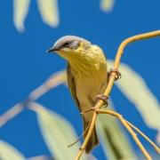 Grey-headed Honeyeater (Image ID 27395)
