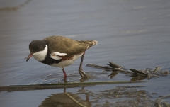 Red-kneed Dotterel