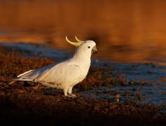 Sulphur-crested Cockatoo (Image ID 27263)