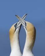 Australasian Gannet (Image ID 27926)