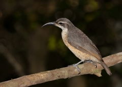 Victoria's Riflebird (Image ID 28313)