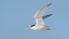Little Tern (Image ID 28598)
