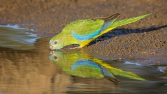 Turquoise Parrot (Image ID 28292)