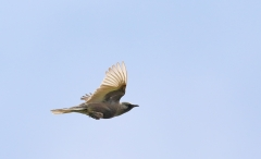 Brown Songlark (Image ID 28337)