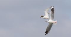 Lesser Crested Tern, Silver Gull