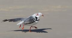 Silver Gull