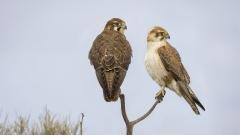 Brown Falcon (Image ID 28674)