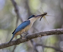 Sacred Kingfisher (Image ID 28760)