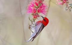 Scarlet Honeyeater (Image ID 28611)