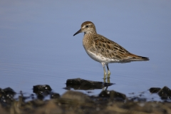 Sharp-tailed Sandpiper (Image ID 28757)