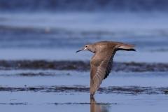 Grey-tailed Tattler (Image ID 28672)