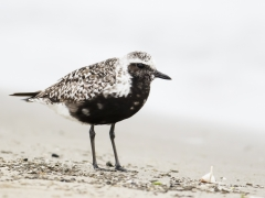 Grey Plover (Image ID 29173)