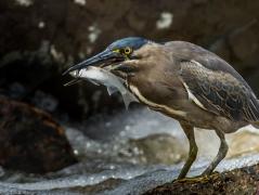 Striated Heron