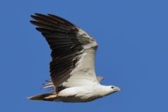 White-bellied Sea-Eagle (Image ID 29177)