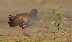 Black-tailed Native-hen