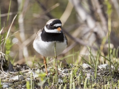 Ringed Plover (Image ID 29172)
