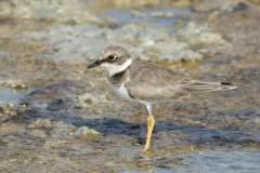Little Ringed Plover (Image ID 29170)