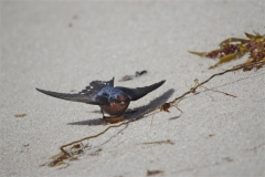 Welcome Swallow