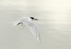 White-fronted Tern (Image ID 29193)