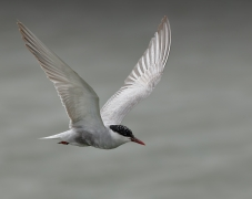 Whiskered Tern (Image ID 29169)
