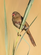 Crimson Finch (Image ID 29454)