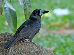 Black Butcherbird (Image ID 29445)
