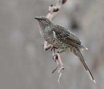 Little Wattlebird (Image ID 29512)