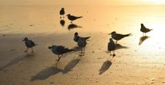 Crested Tern, Silver Gull