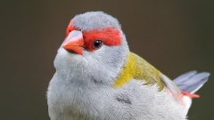 Red-browed Finch (Image ID 29549)