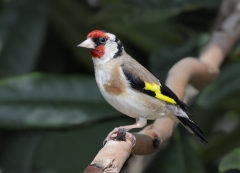 European Goldfinch (Image ID 29476)
