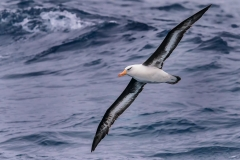 Campbell Albatross (Image ID 29932)