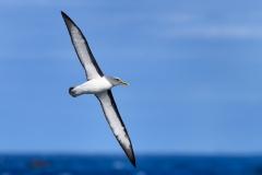 Buller's Albatross (Image ID 29931)