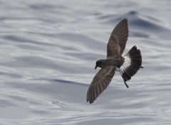 White-bellied Storm-Petrel (Image ID 29910)