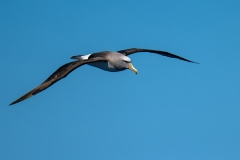 Salvin's Albatross (Image ID 30296)
