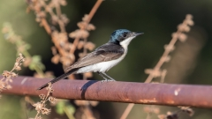 Restless Flycatcher