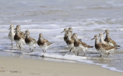 Great Knot (Image ID 30216)
