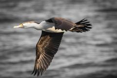Pied Cormorant (Image ID 30332)