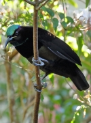 Victoria's Riflebird
