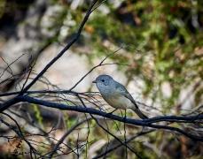 Mangrove Golden Whistler (Image ID 30260)