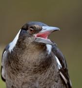 Australian Magpie (Image ID 30345)