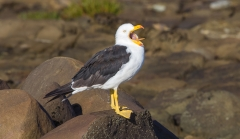 Pacific Gull (Image ID 30563)